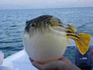 Balon Balığı Nedir? Balon Balığı Hakkında Bilinmesi Gerekenler