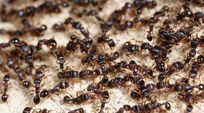 Antibiyotik Üreten Karıncalar