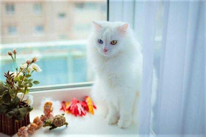 Evcimen Kedi Türleri Nelerdir? Evde Besleyebileceğiniz Kedi Cinsleri
