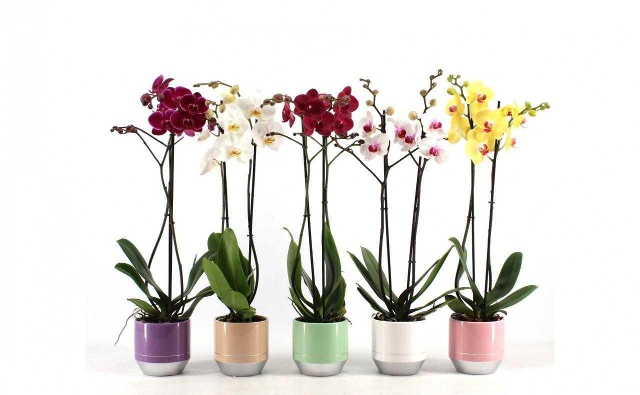 Evde Orkide Bakımı Nasıl Olur? Orkidenizi Canlı Tutmanın Yolları