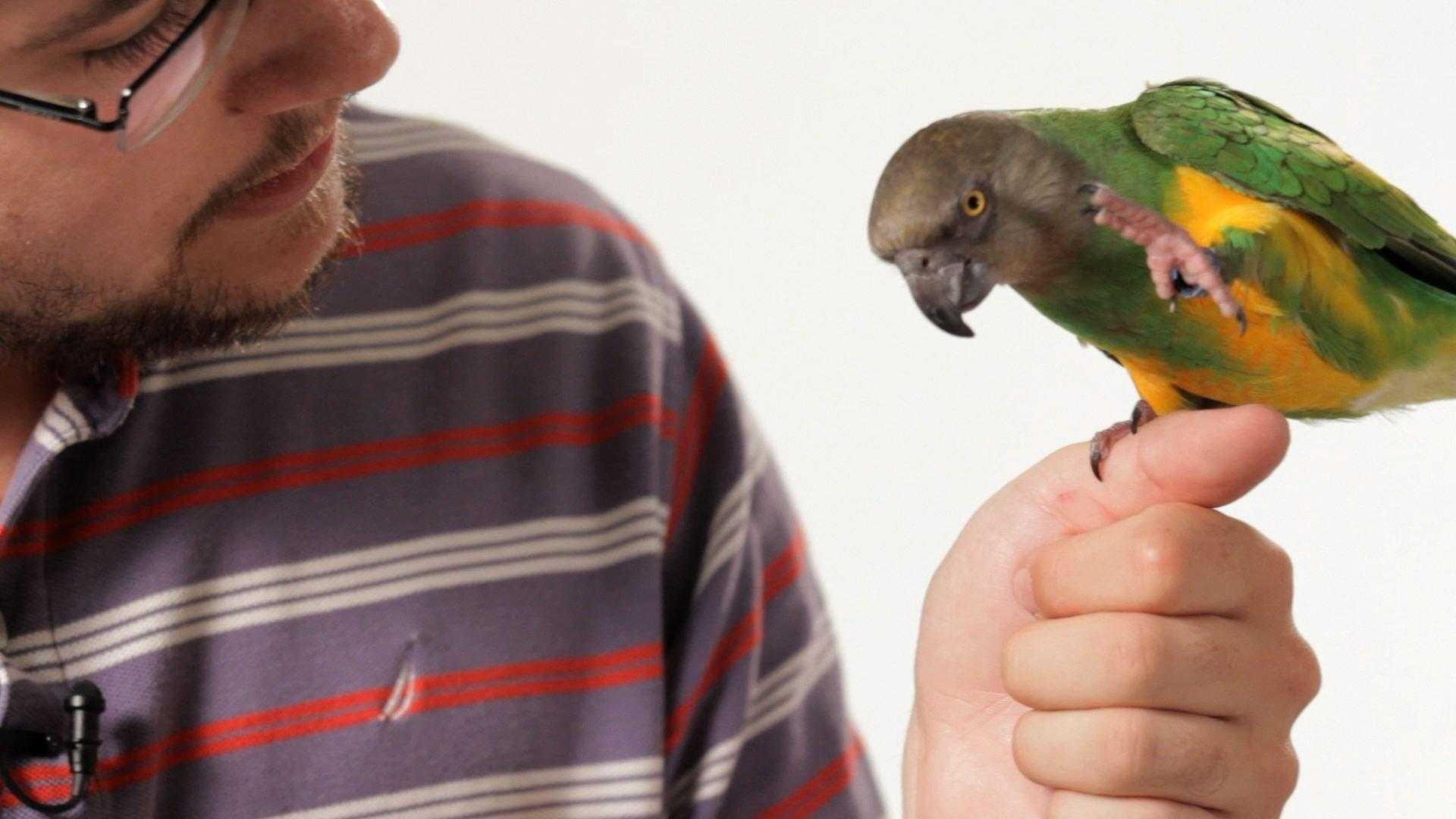 Muhabbet Kuşunu (Papağanı) Konuşturma Yolları