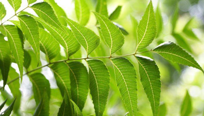 Neem Ağacı Bitkisinin Faydaları Nedir, Nasıl Kullanılır?